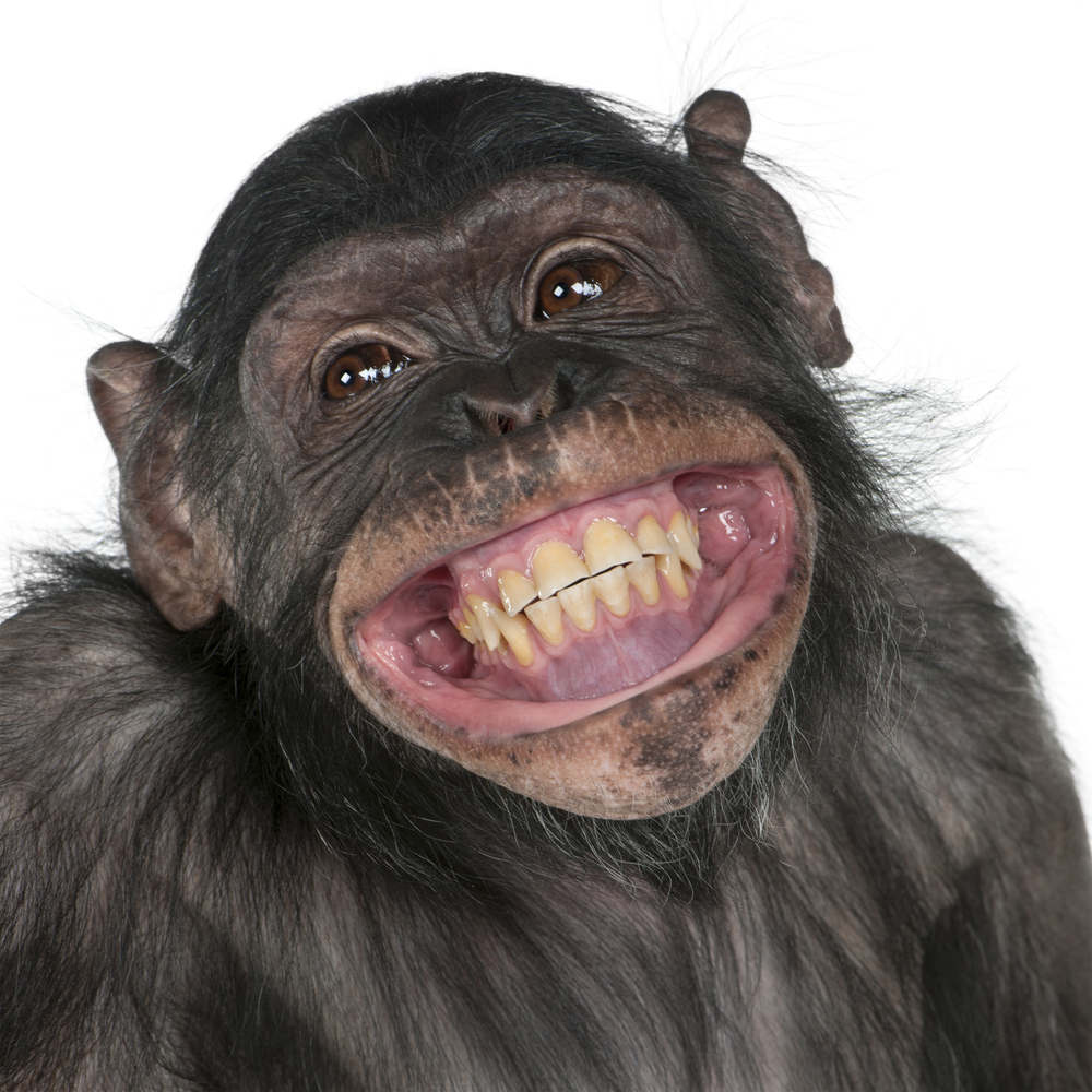 A photo of a chimpanzee with a huge grin on its face.